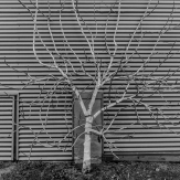 Espaliered fig in winter plays against corrugated steel siding