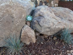 Succulents peek out from natural boulders harvested on-site
